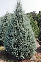 Christmas Tree Types - Blue Ice