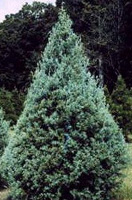Christmas Tree Types - Carolina Sapphire