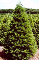Christmas Tree Types - White Pine