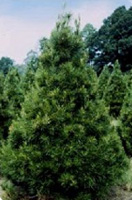 Christmas Tree Types - Virginia Pine