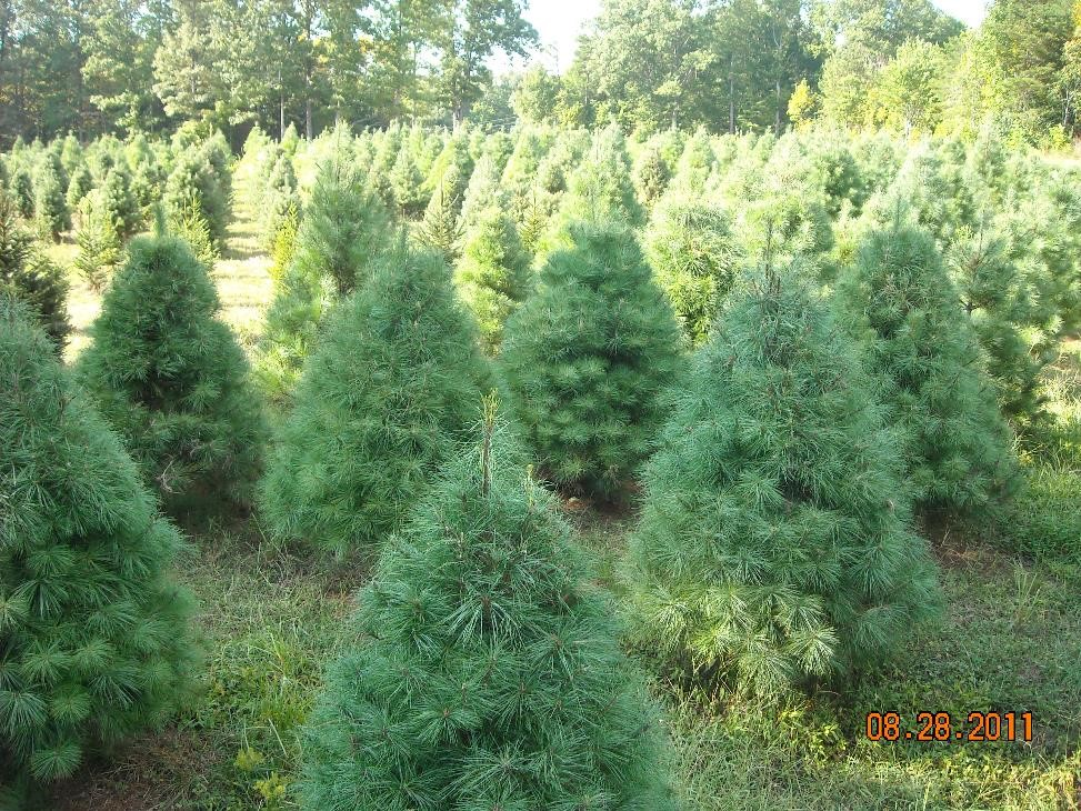 Precut Christmas Trees